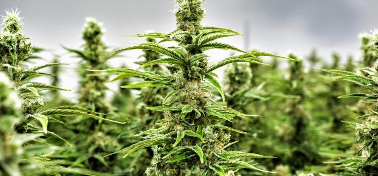 Invima anuncia que cannabis en Colombia podrá ser comercializado como producto medicinal