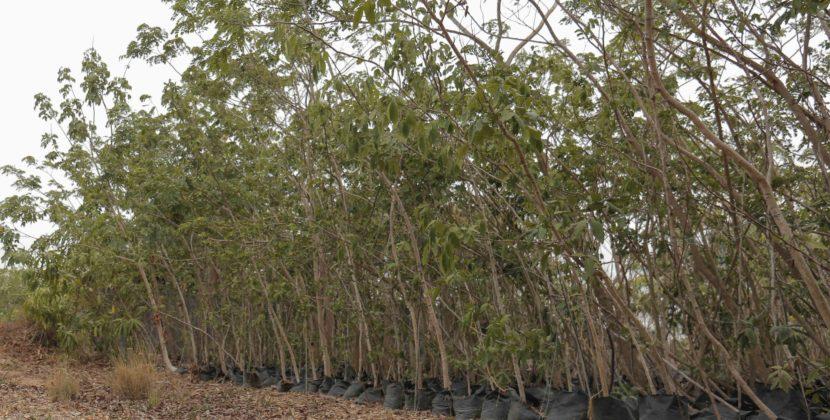 Gobernación recibe donación de 22.000 árboles para sembrar en 400 obras en Atlántico