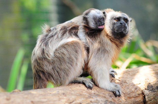 Dos monos y un zaíno, nuevos habitantes del Zoológico de Barranquilla